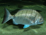 White seabream (Diplodus sargus)